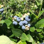Palmer Blueberry Farm - Gallery Image 2